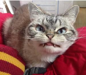 Адова кошка Локи из Англии