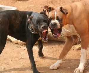 Освобождены 33 собаки, которых натаскивали на собачьи бои