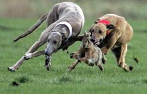 Без подделок: настоящий кролик сорвал собачьи бега