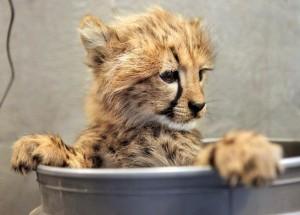 Крошка гепард!