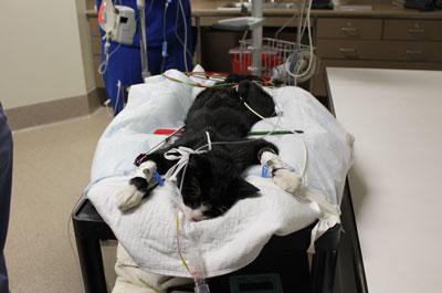 кошка на операционном столе под наркозом