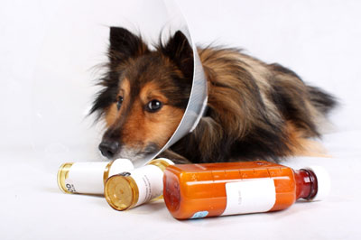 щенок колли с лекарствами