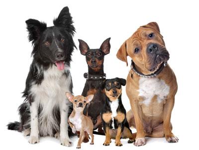 собаки слушают команду
