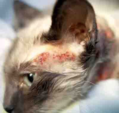 методы лечения экземы у кошек