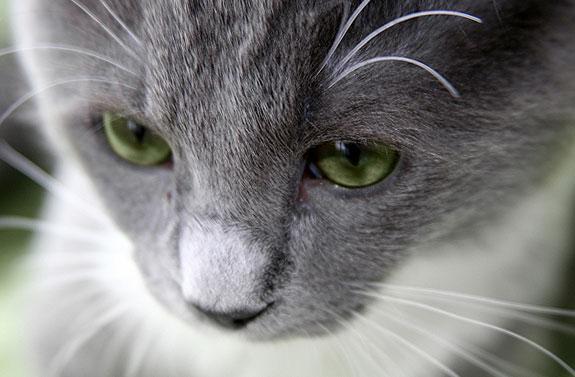 морда серой кошки