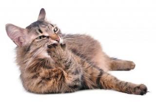 кошка лежит и лижет лапу