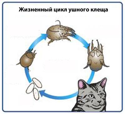 жизненный цикл ушного клеща у кошек