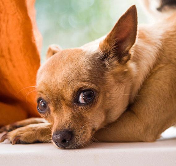 приступы при эпилепсии у собак бывают крайне тяжелыми...