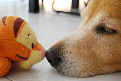 собака лежит уткнувшись носом в игрушку