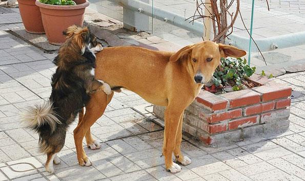 размер не имеет значения... особенно, когда у собаки течка