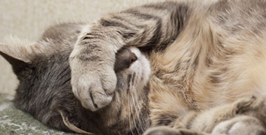 кошка лежит закрыв голову лапой