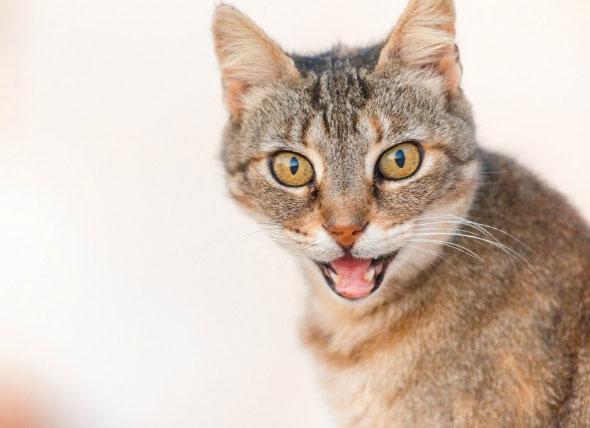 рыжая кошка с открытой пастью