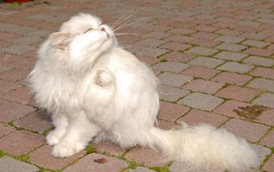 белая кошка чешется