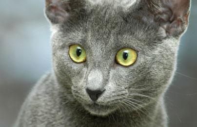 морда удивленной кошки