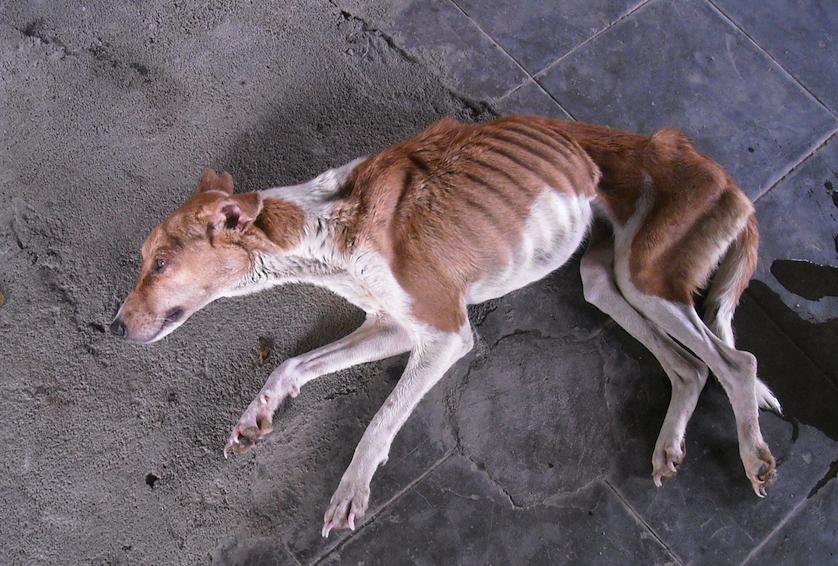 Инфицированной собаке грозить истощение