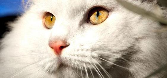 белая кошка крупным планом
