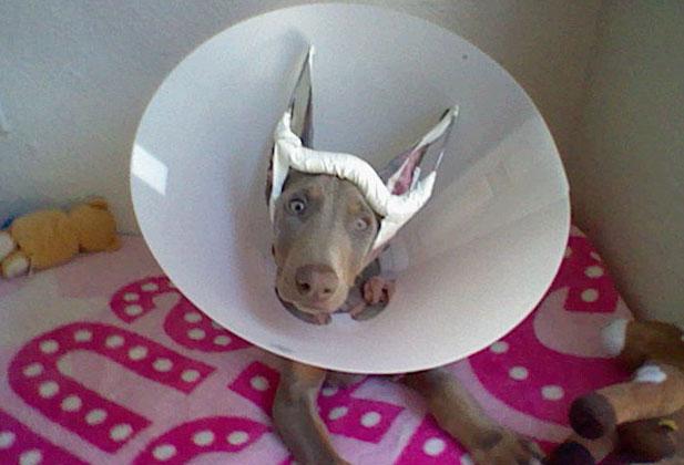 собака после купирования ушей