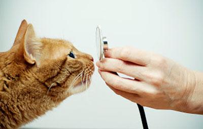 кошка нюхает фонендоскоп