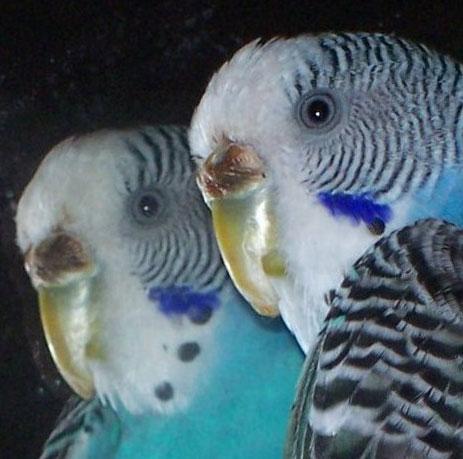 волнистый попугай с поражением клюва