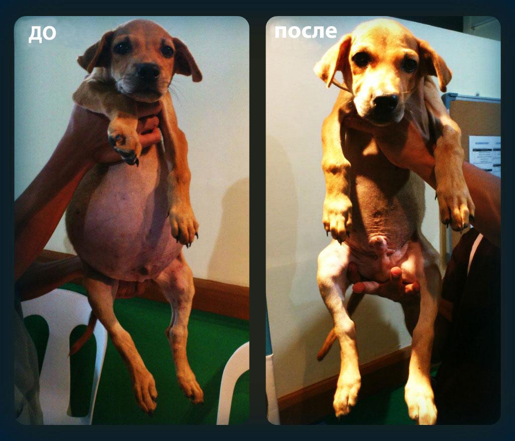 собака до лечения асцита и после лечения асцита