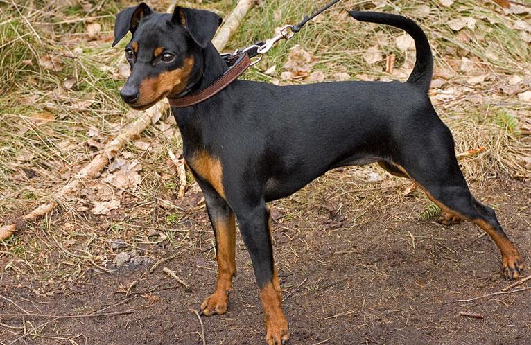 собака на поводке с некупироваными ушами