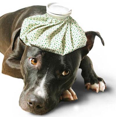 собака лежит с грелкой на голове