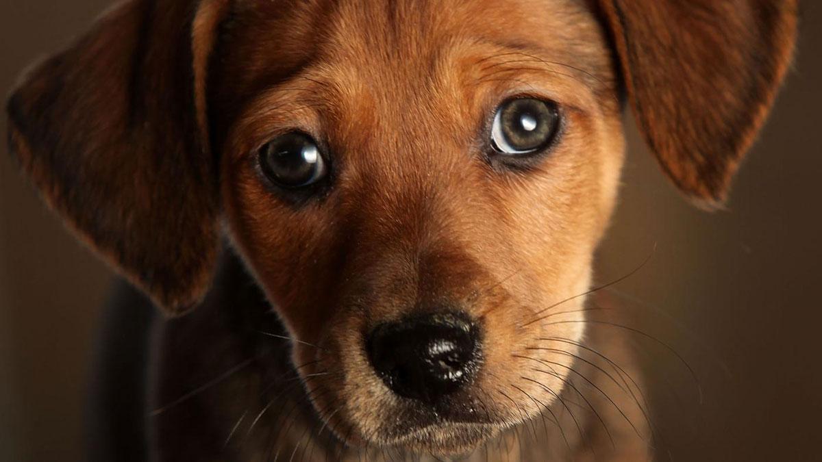 сердечная недостаточность у собак - серьезный недуг, требующий не менее серьезного лечения