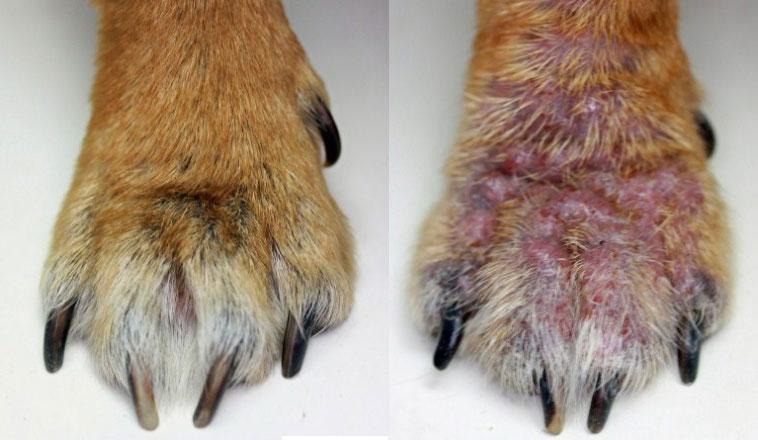 лапа здоровой собаки и лапа с поражением демодекоза