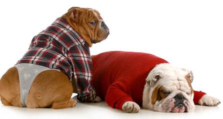 собаке с течкой иногда  одевают специальные трусы