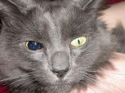 глаукома у кошки на правом глазу