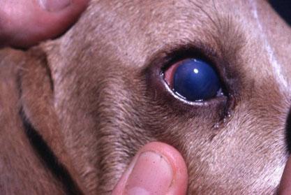 глаз собаки  пораженной аденовирозом