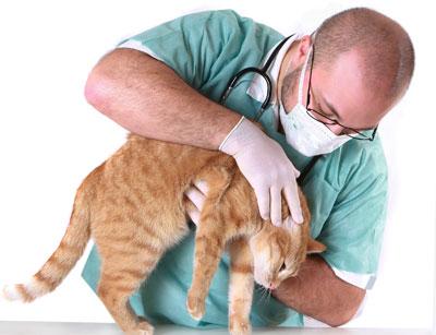 Ваша забота о кошке после стерилизации не менее важна чем действия грамотного ветеринара
