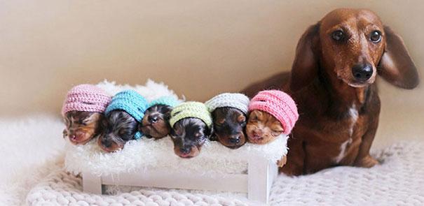 такса с щенятами