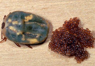 самки клеща откладывают несколько тысяч яиц