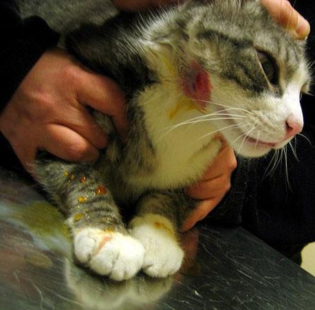 кошка с абсцессом на голове