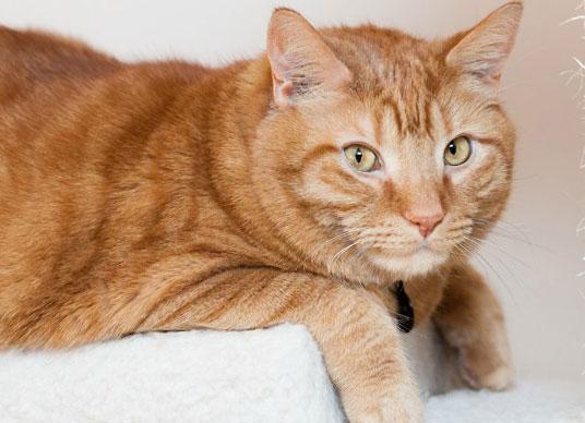 рыжая кошка с асцитом