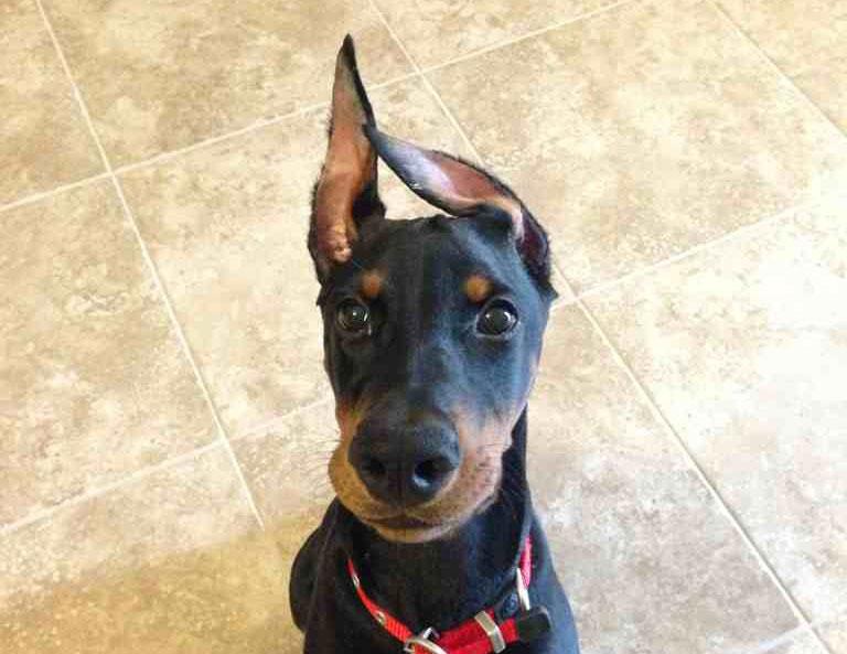 собака с некупированными ушами