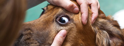 осмотр век собаки на предмет воспаления